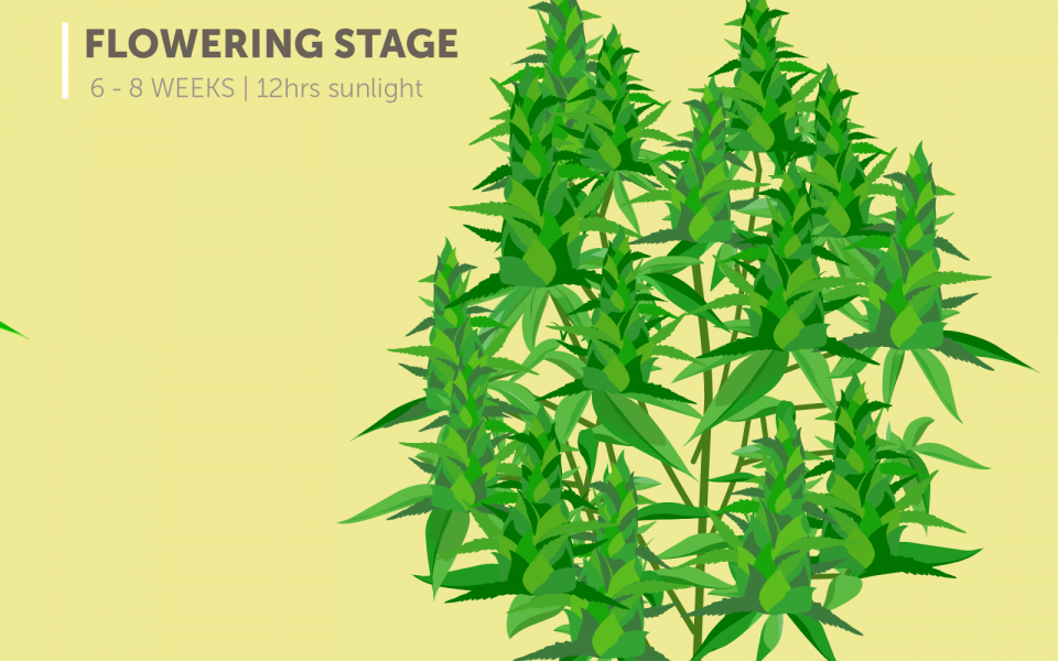 marijuana plant growth stages: flowering stage (6-8 weeks), 12 hours of sunlight
