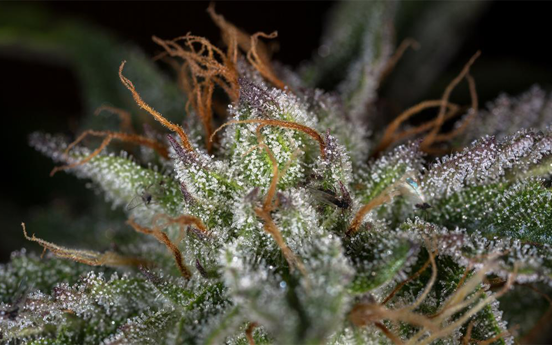 Tips for Growing Hindu Kush Cannabis