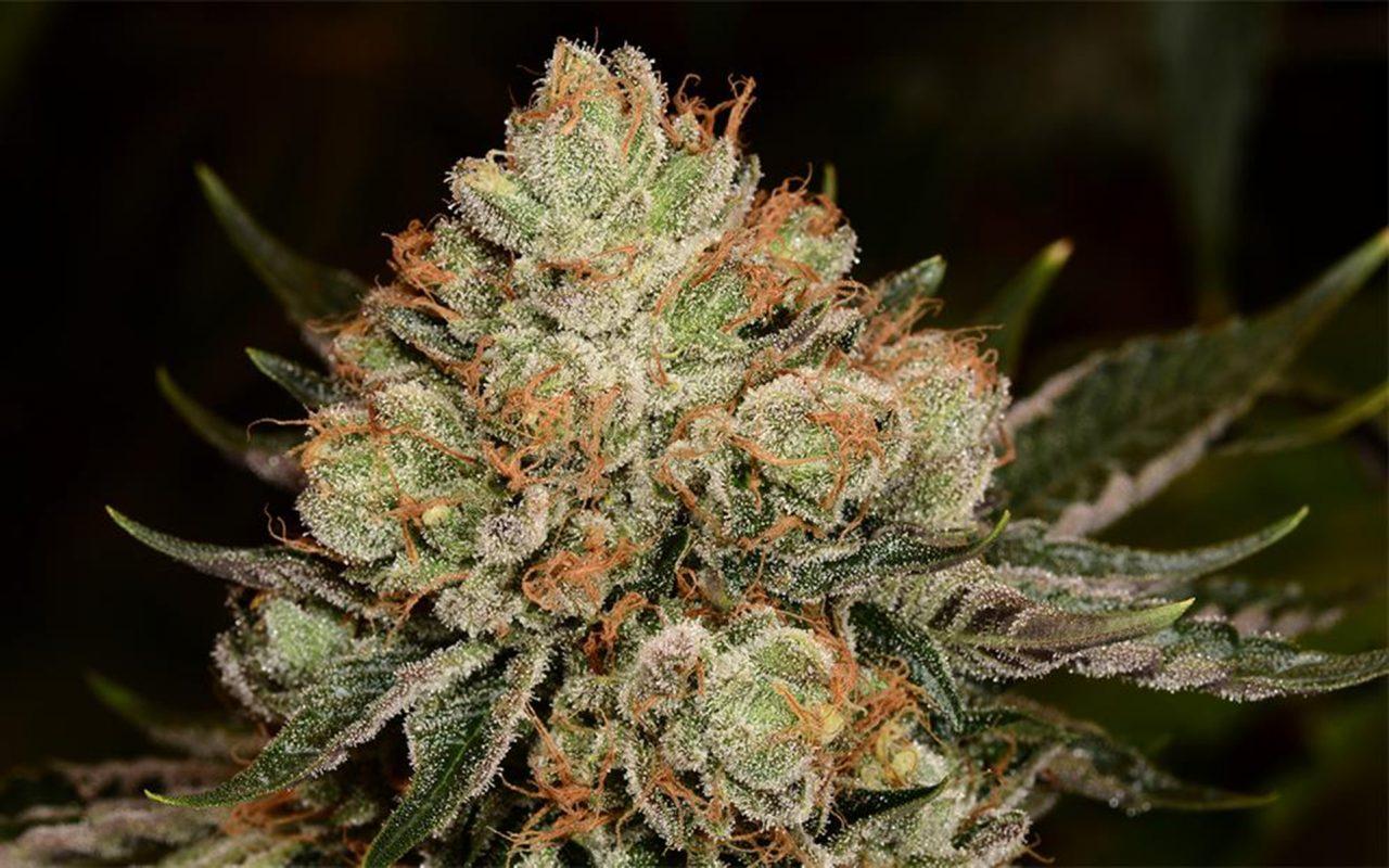 Tips for Growing Alien OG Cannabis