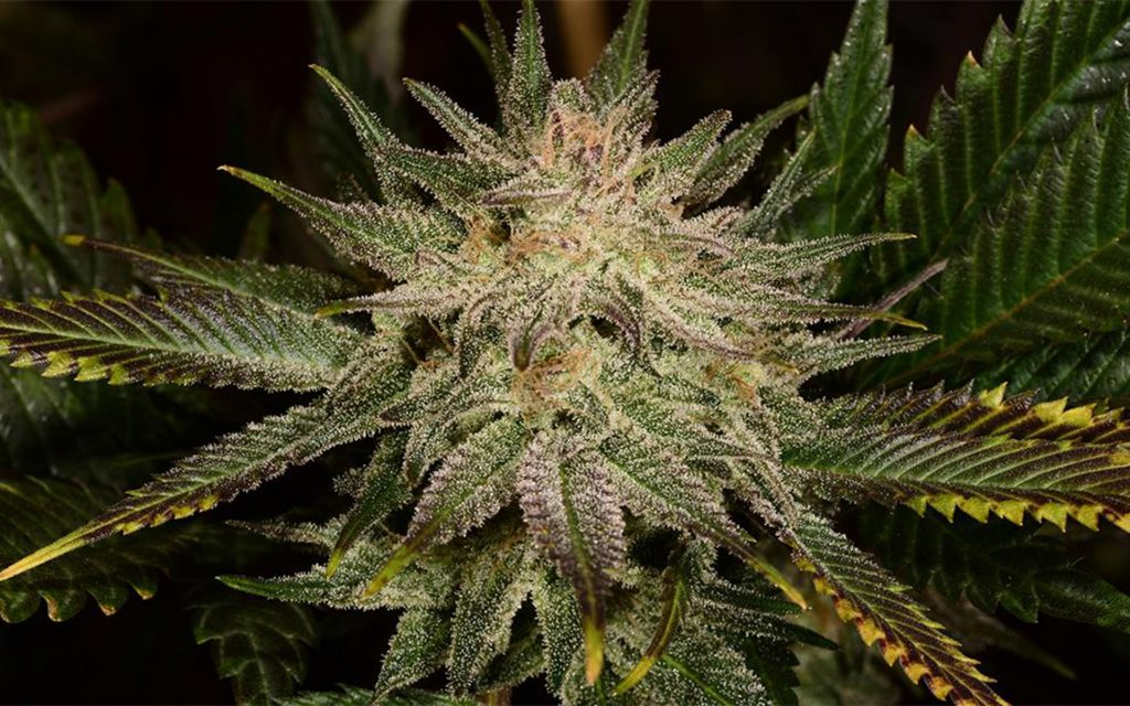 Tips for Growing Banana Kush Cannabis
