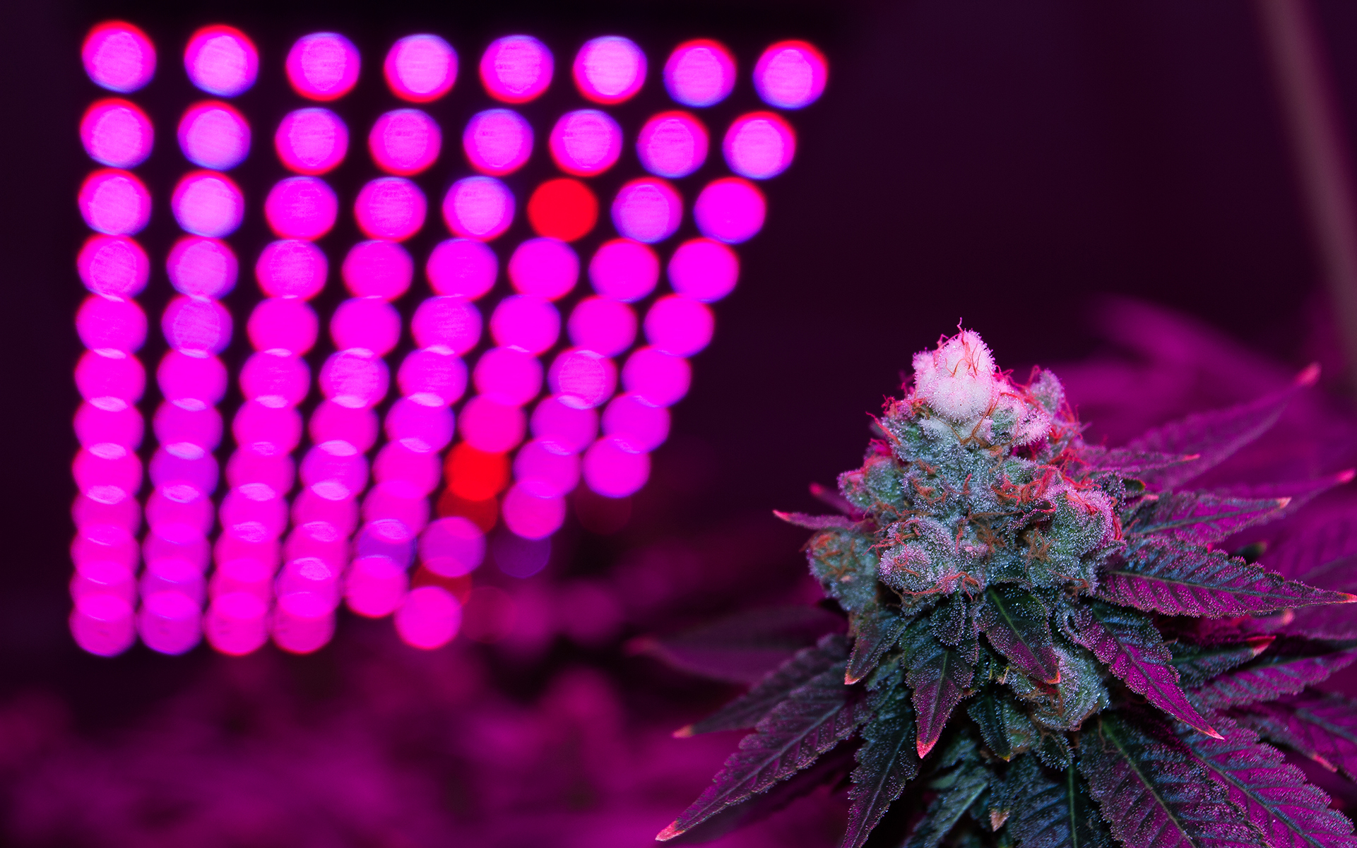 White-tipped cannabis buds in an LED lit grow room