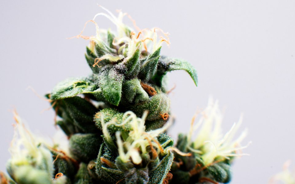 Tips for Growing Island Sweet Skunk Cannabis