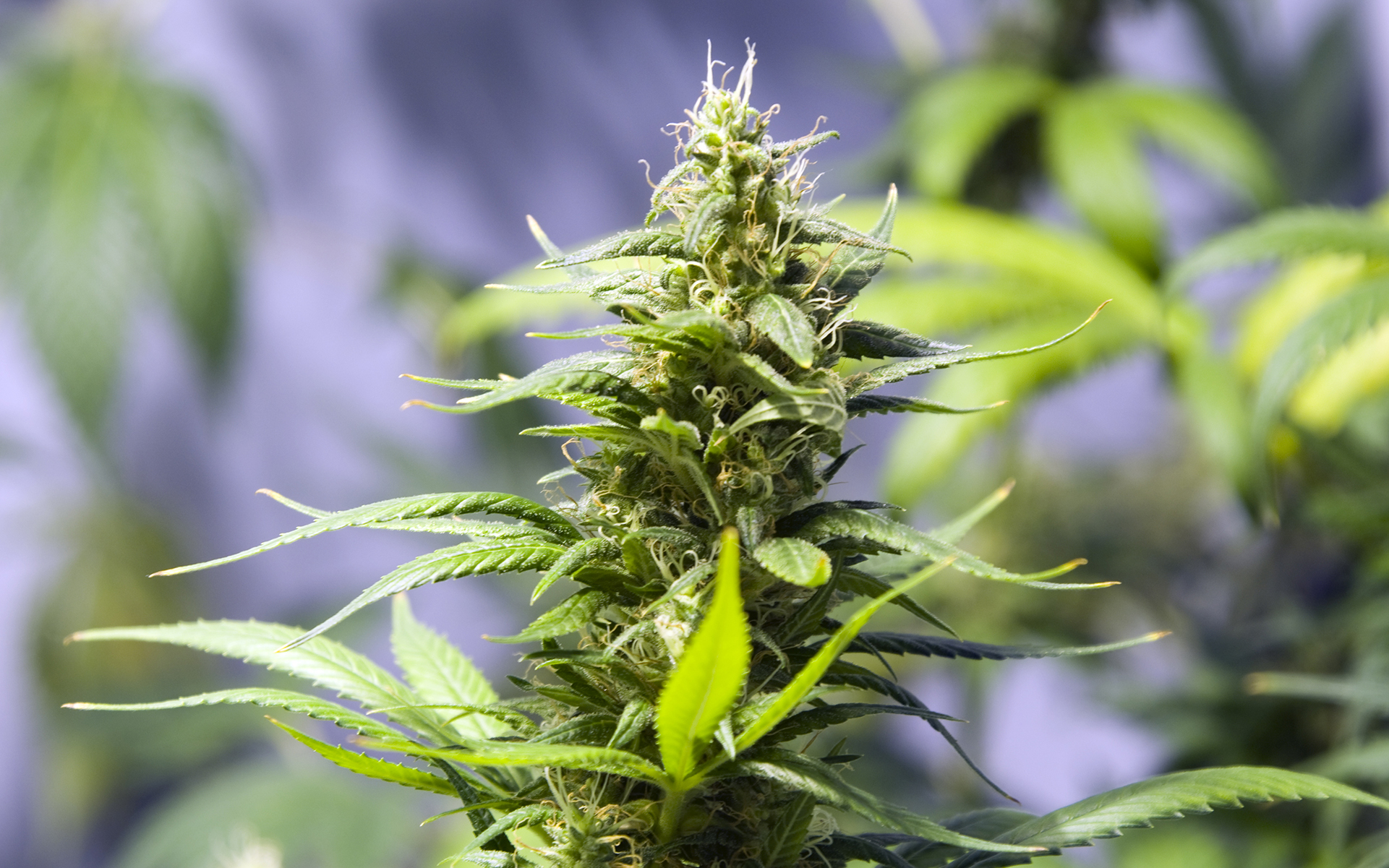 Tips for Growing Holy Grail Kush Cannabis