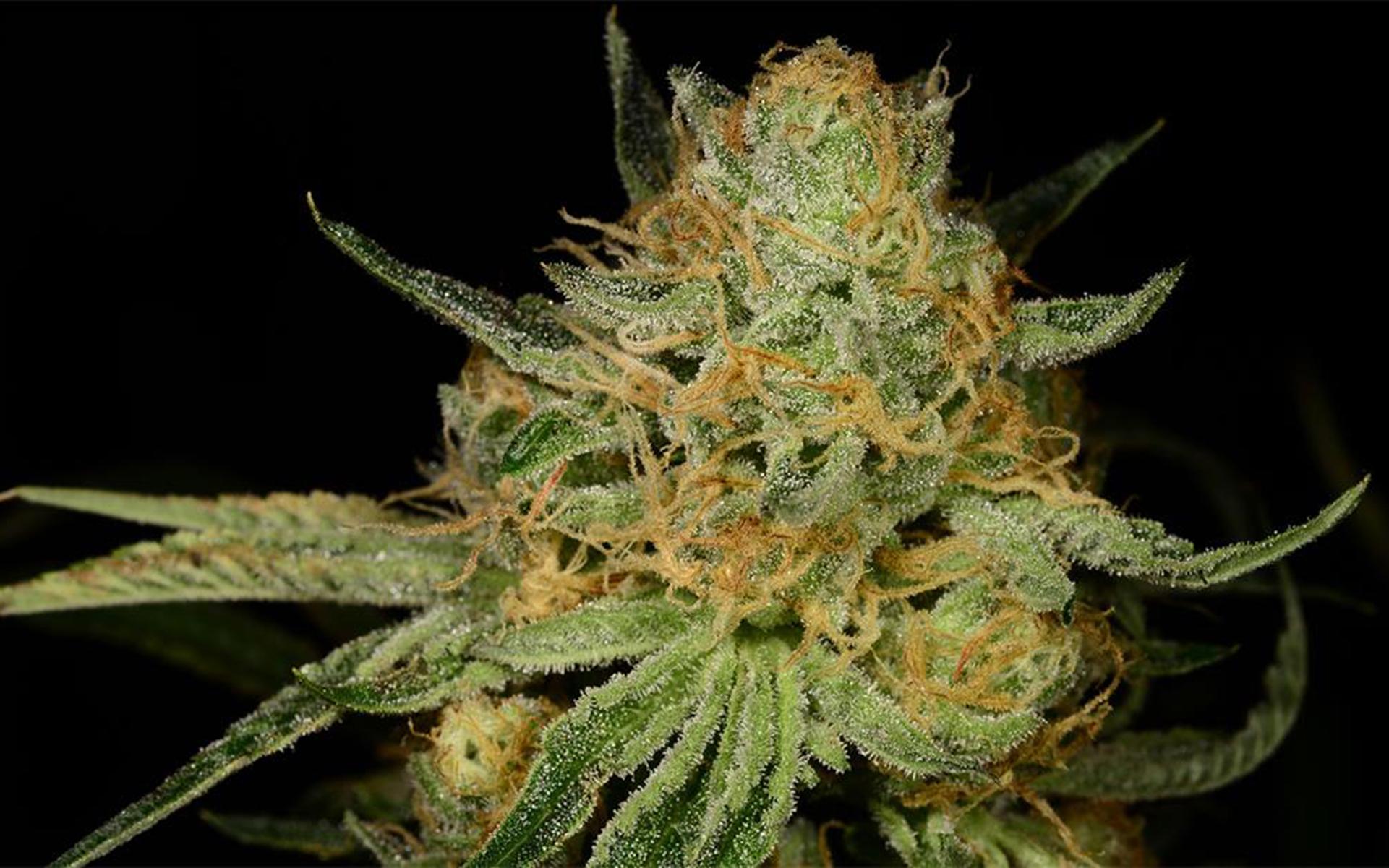 Tips for Growing Kosher Kush Cannabis