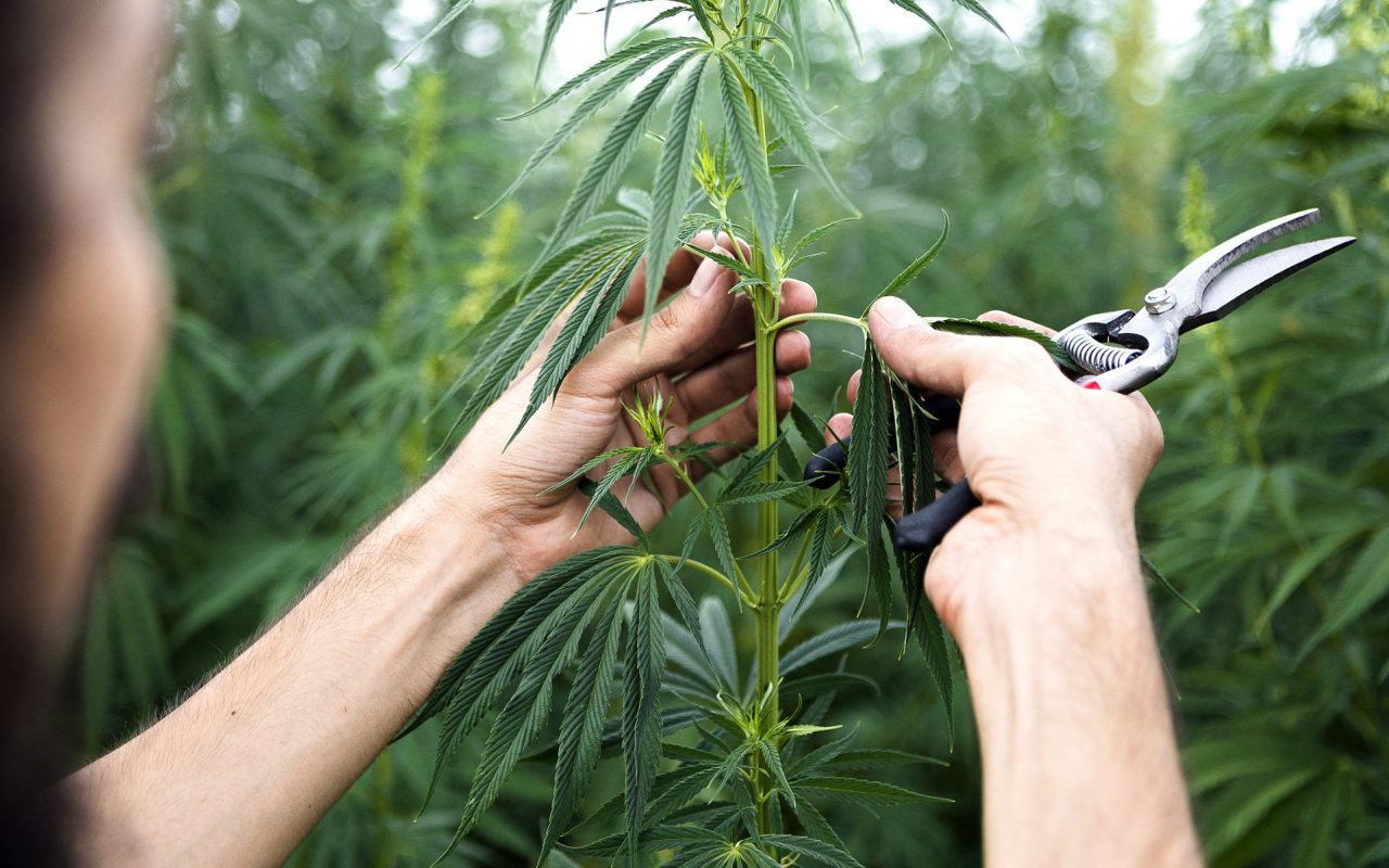 Tips for Growing Industrial Hemp