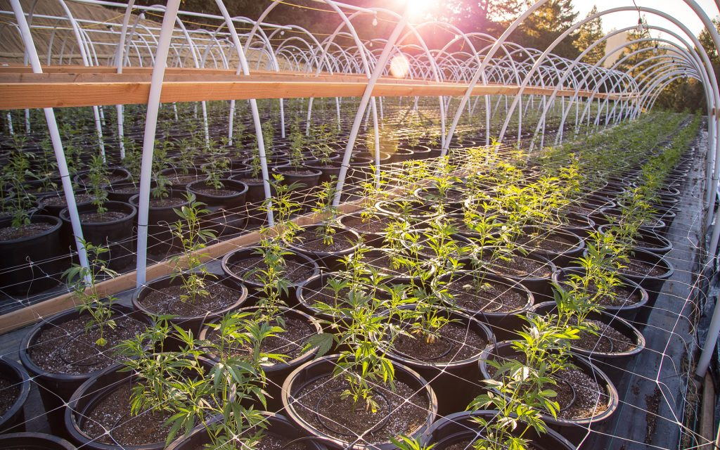 How To Support Your Cannabis Garden With Trellising Leafly