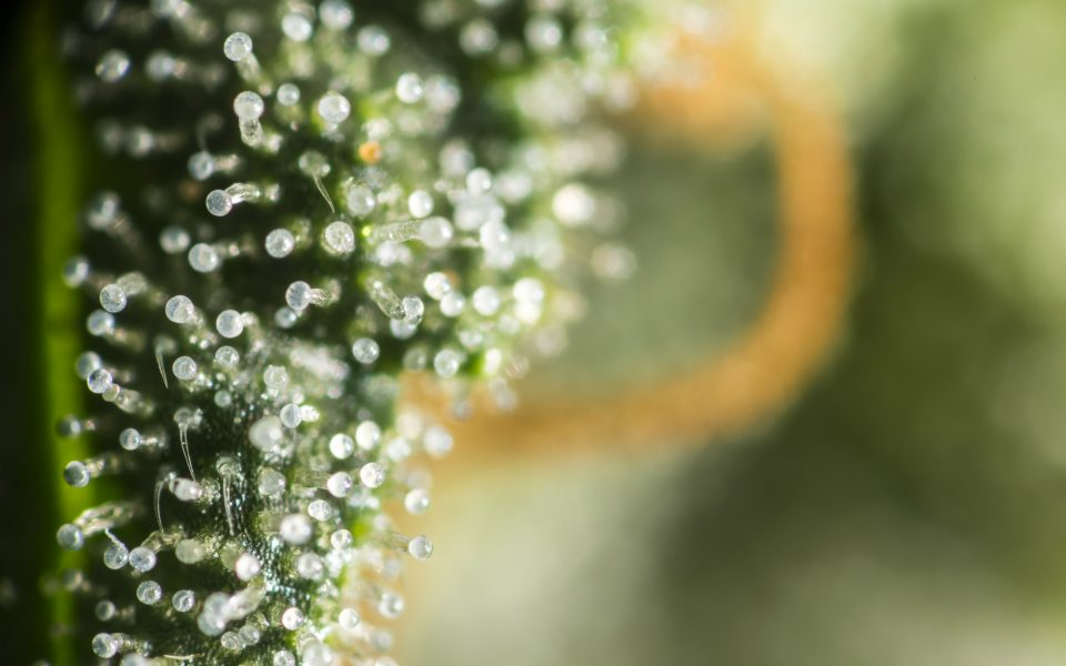 What Cannabis Strain Has the Most THC, According to Lab Data?