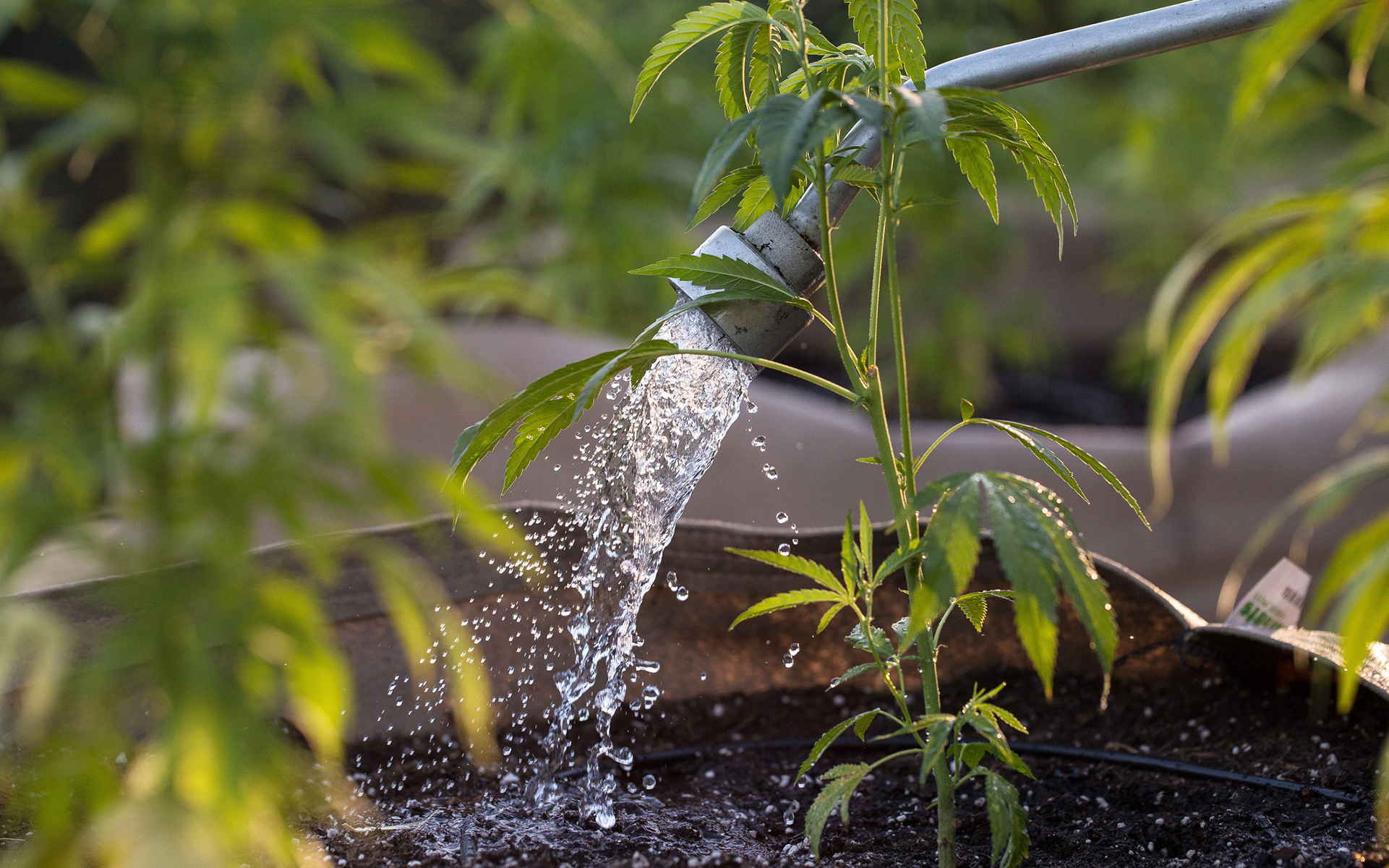 Introduction to Growing Cannabis With Aquaponics | Leafly