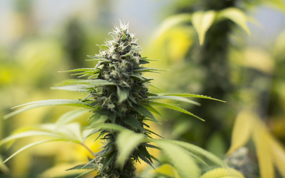 7 Cannabis Strains That Changed the Game