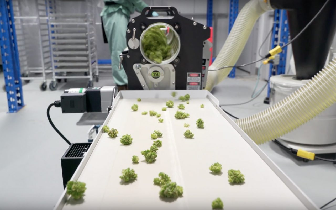 Cannabis coming out of trimmer