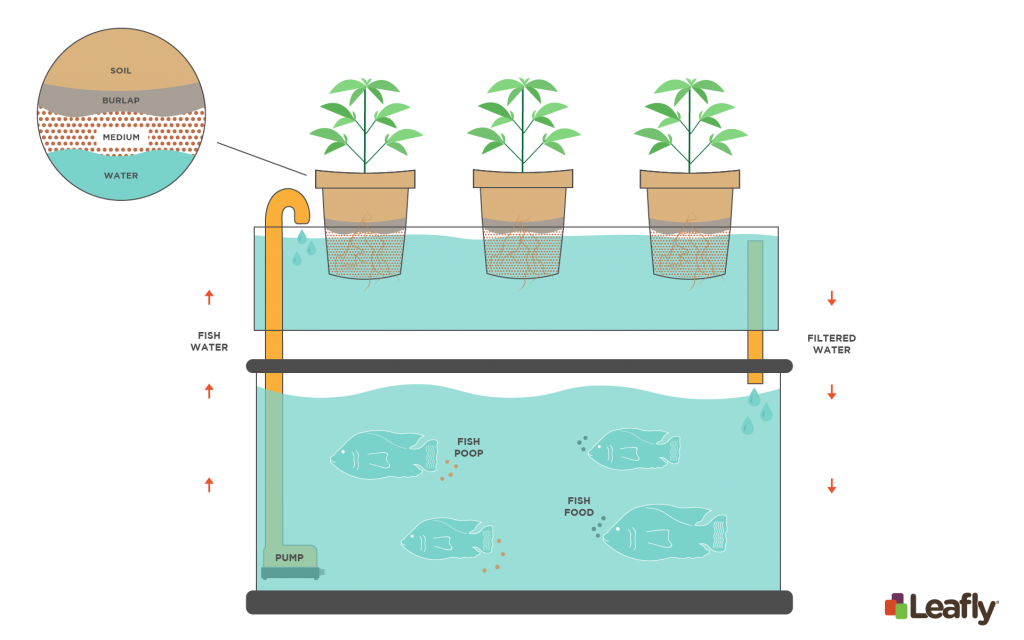 Introduction to Growing Cannabis With Aquaponics | Leafly on small home aquaculture, small grow kits, small home farm, small home growing, small home composting, small home community, small home orchard, small home design, small home homesteading, small home products, small home gardening, small home water purification, small home ponds, small home technology, small home diy, small home solar power, small home architecture, small home sustainable development, small home nursery, small home aquarium,