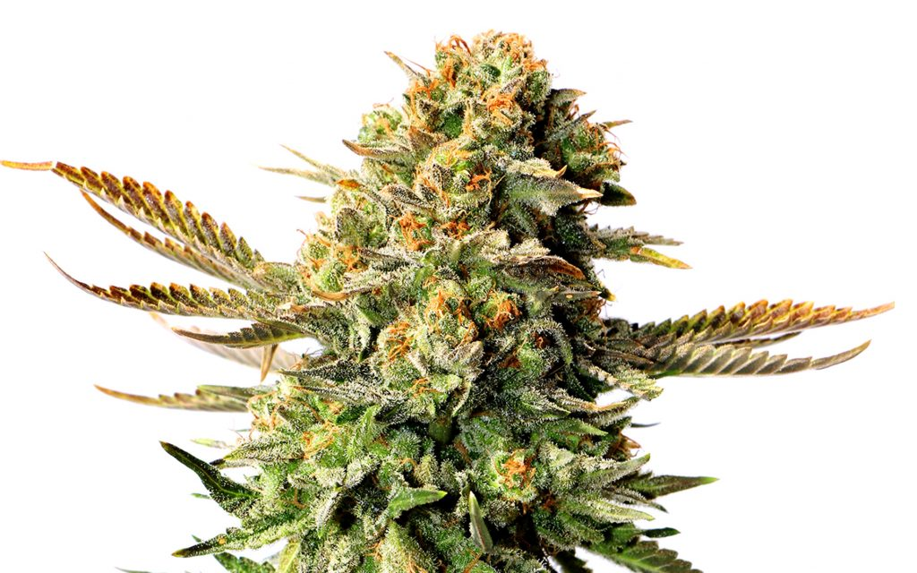 Russian Doll marijuana strain from feminized marijuana seeds