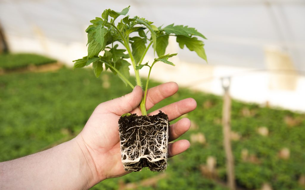 mycorrhizae fungus help plant roots absorb nutrients and minerals from soil.