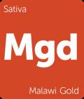 Malawi Gold marijuana strain tile