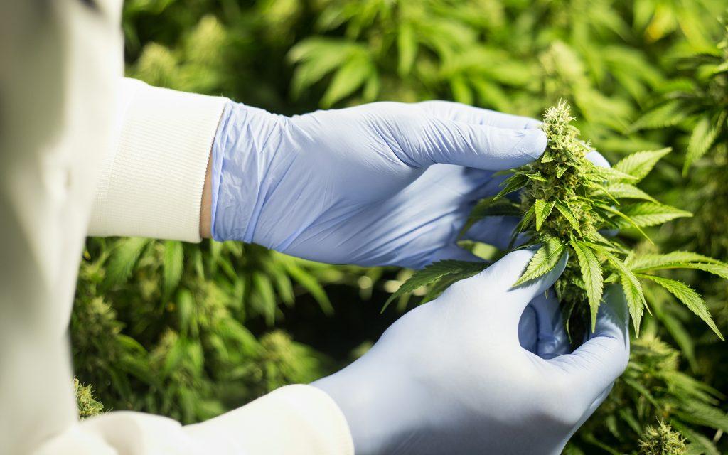 Organigram indoor grown cannabis