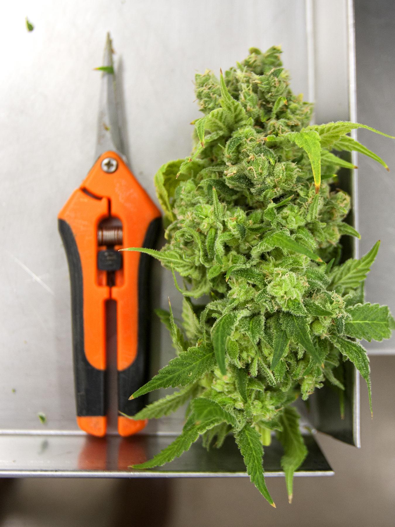 Edison Line hand-trimmed cannabis flower from Organigram