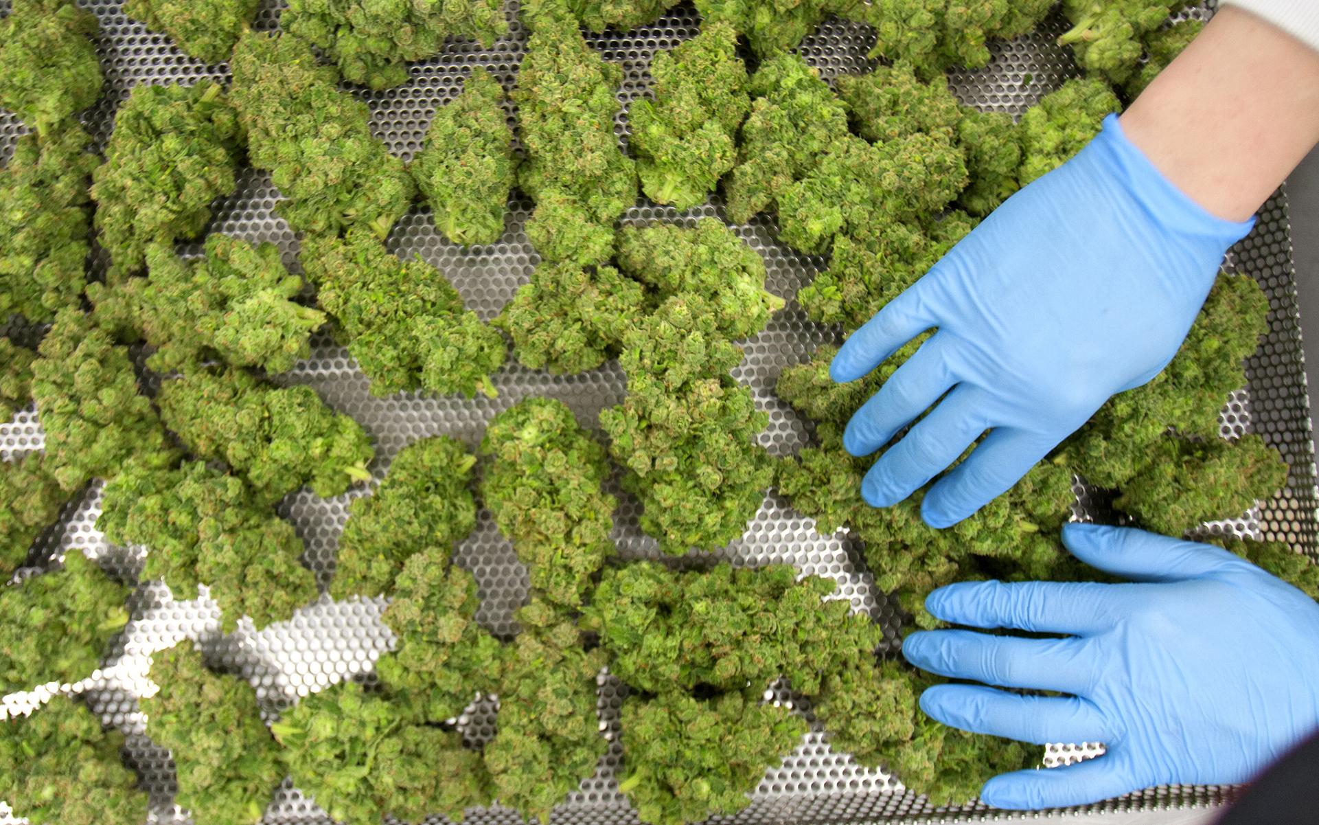 Organigram indoor grown cannabis flower on drying rack