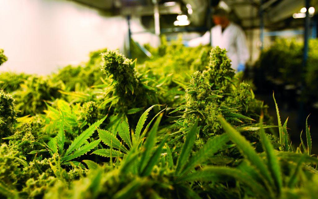 Indoor cannabis grown at Organigram