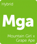 Mountain Girl x Grape Ape marijuana strain tile