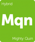 Mighty Quin marijuana strain tile