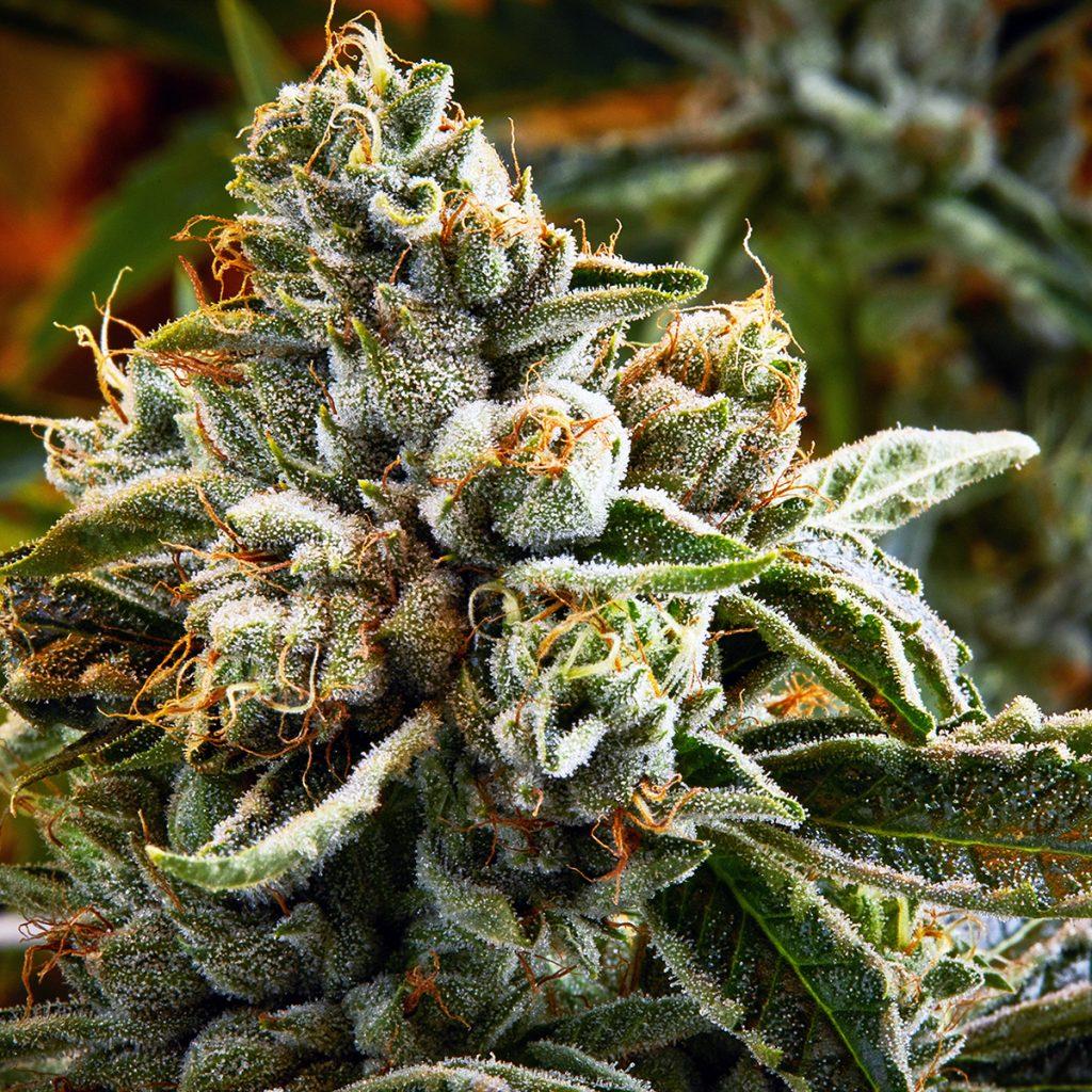4/20 Weed Deals in Nevada: Reef Dispensaries - Various Locations