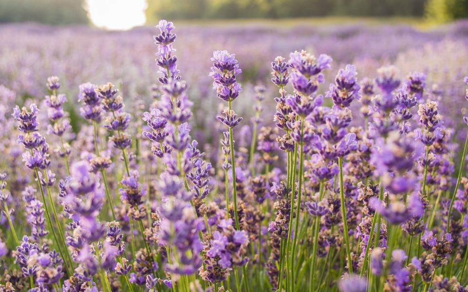 What Is Linalool and What Are the Effects of This Cannabis Terpene?