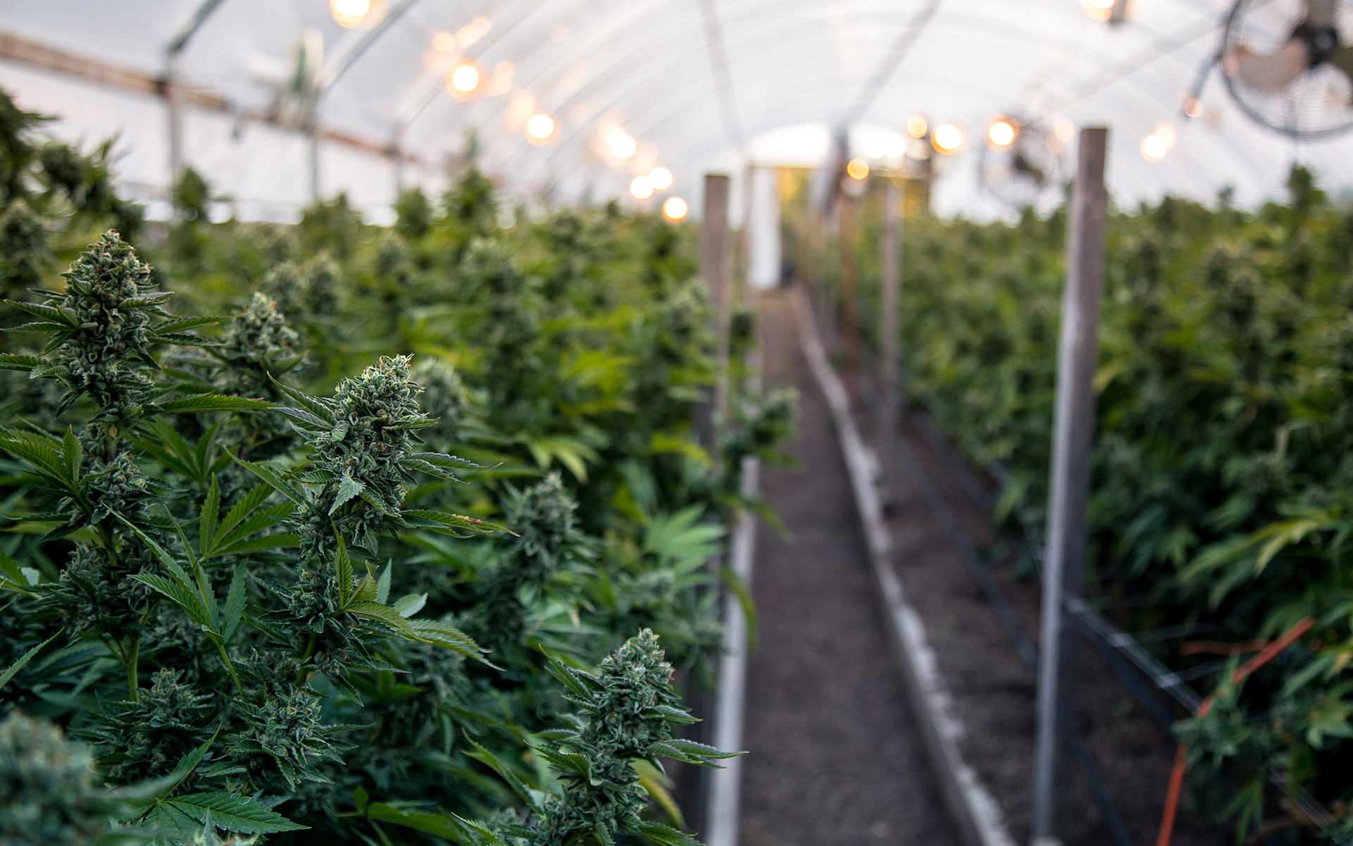 greenhouse-cannabis-grow