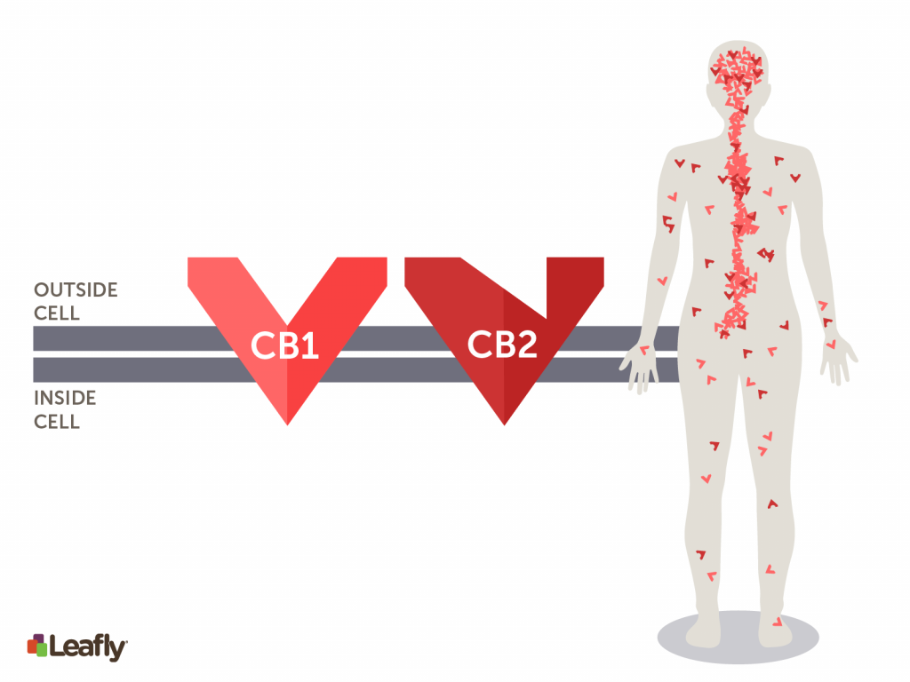 beta-caryophyllene marijuana strains for pain: CB1 & CB2 receptors