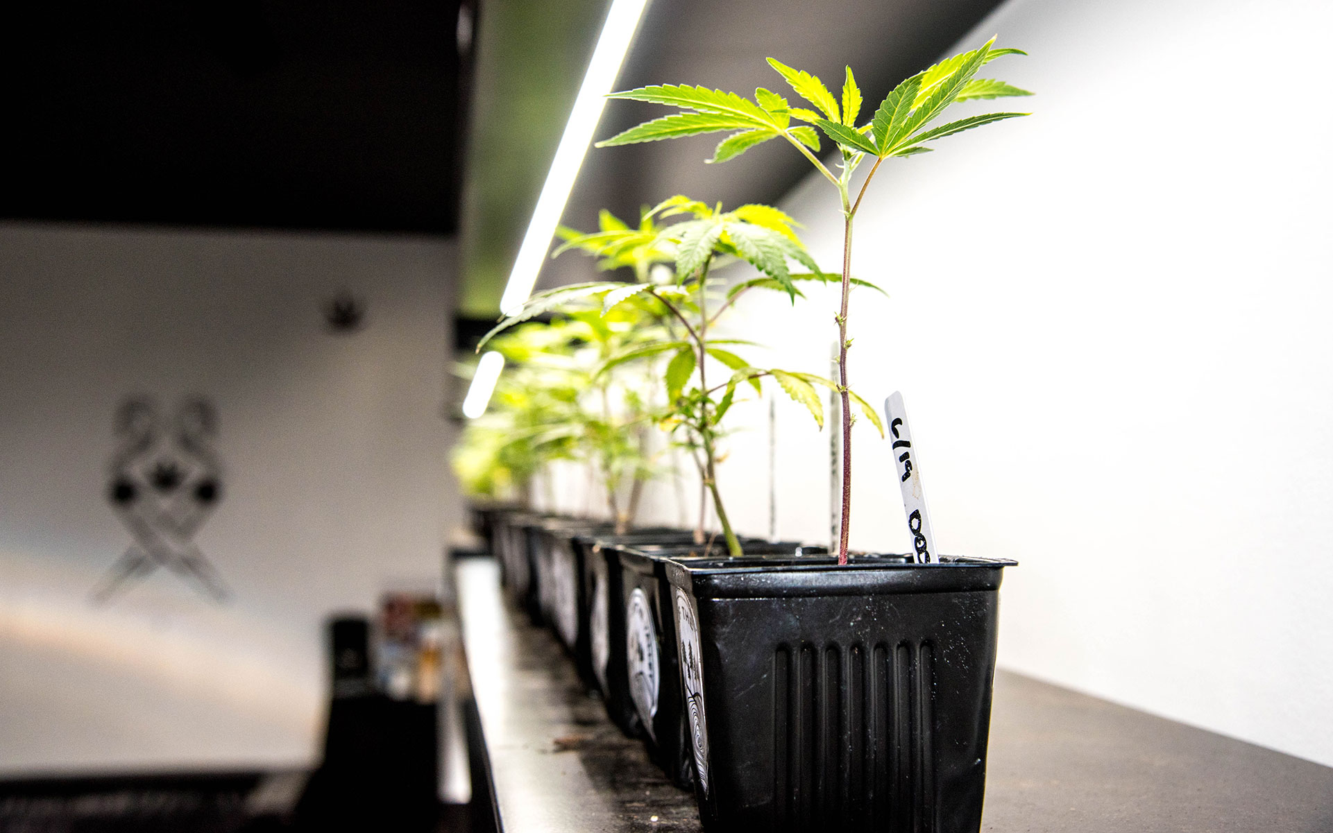 Where to Buy the Best Cannabis Clones in Oregon | Leafly