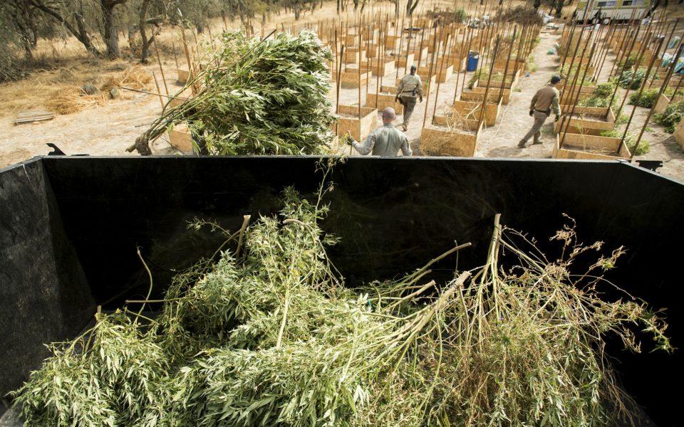 Calaveras Cannabis Farmers File Class Action Lawsuit Over Cultivation Ban