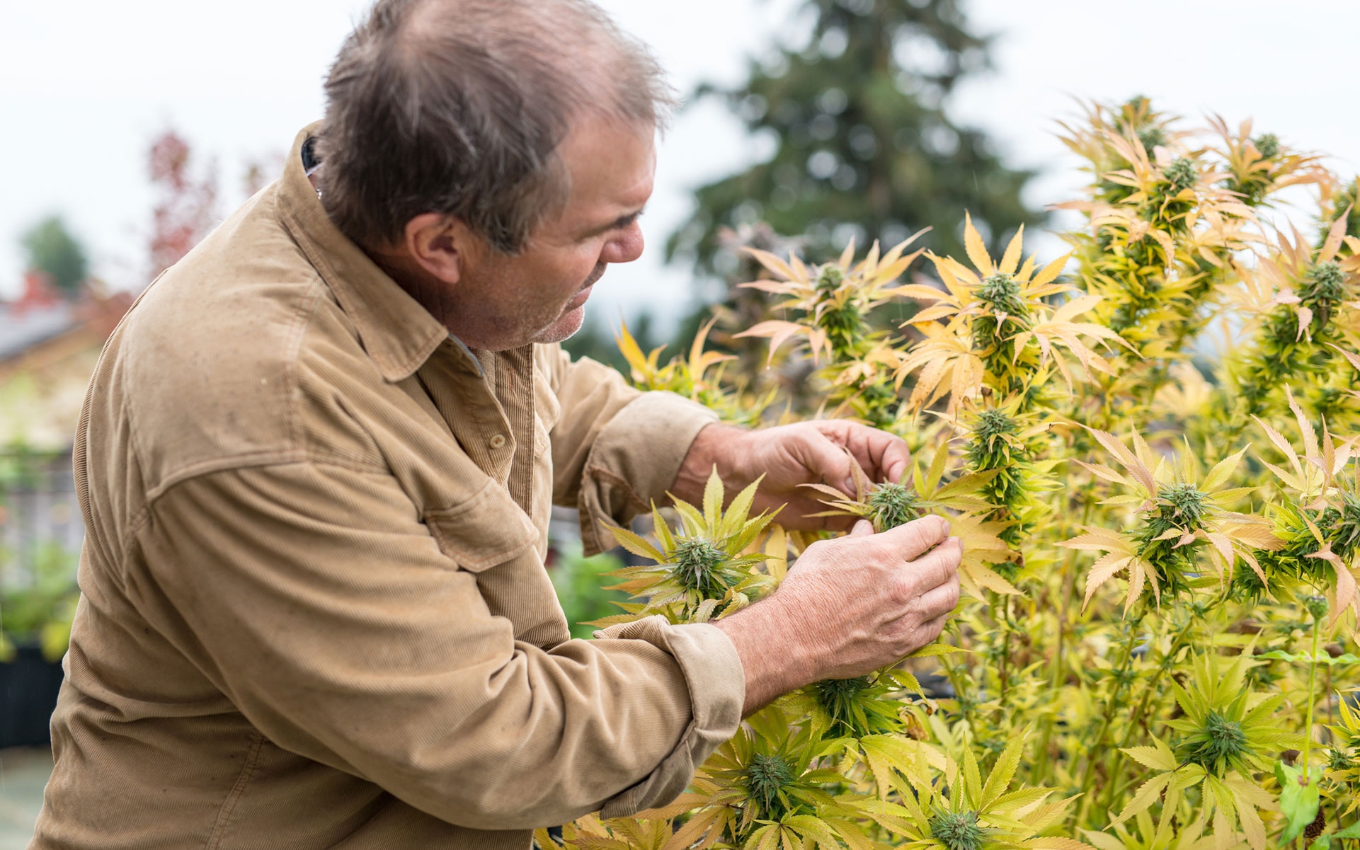 Cannabis Harvest in Photos: The 31 Days of #Croptober thumbnail