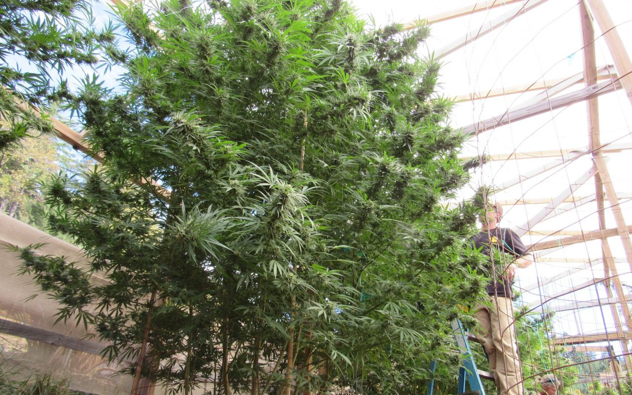 Plants at True Humboldt in California top 15 feet in 2015. (David Downs/Leafly)