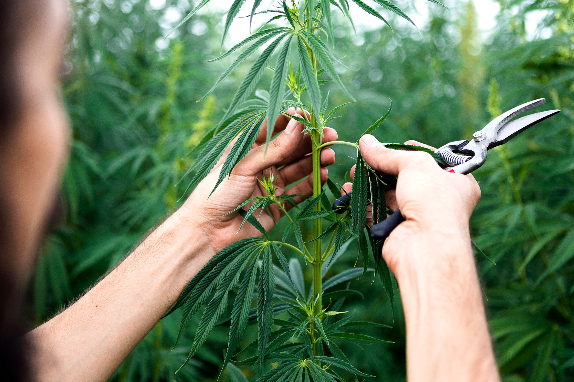 What You Need to Know to Become a Legal Cannabis Grower in Canada thumbnail