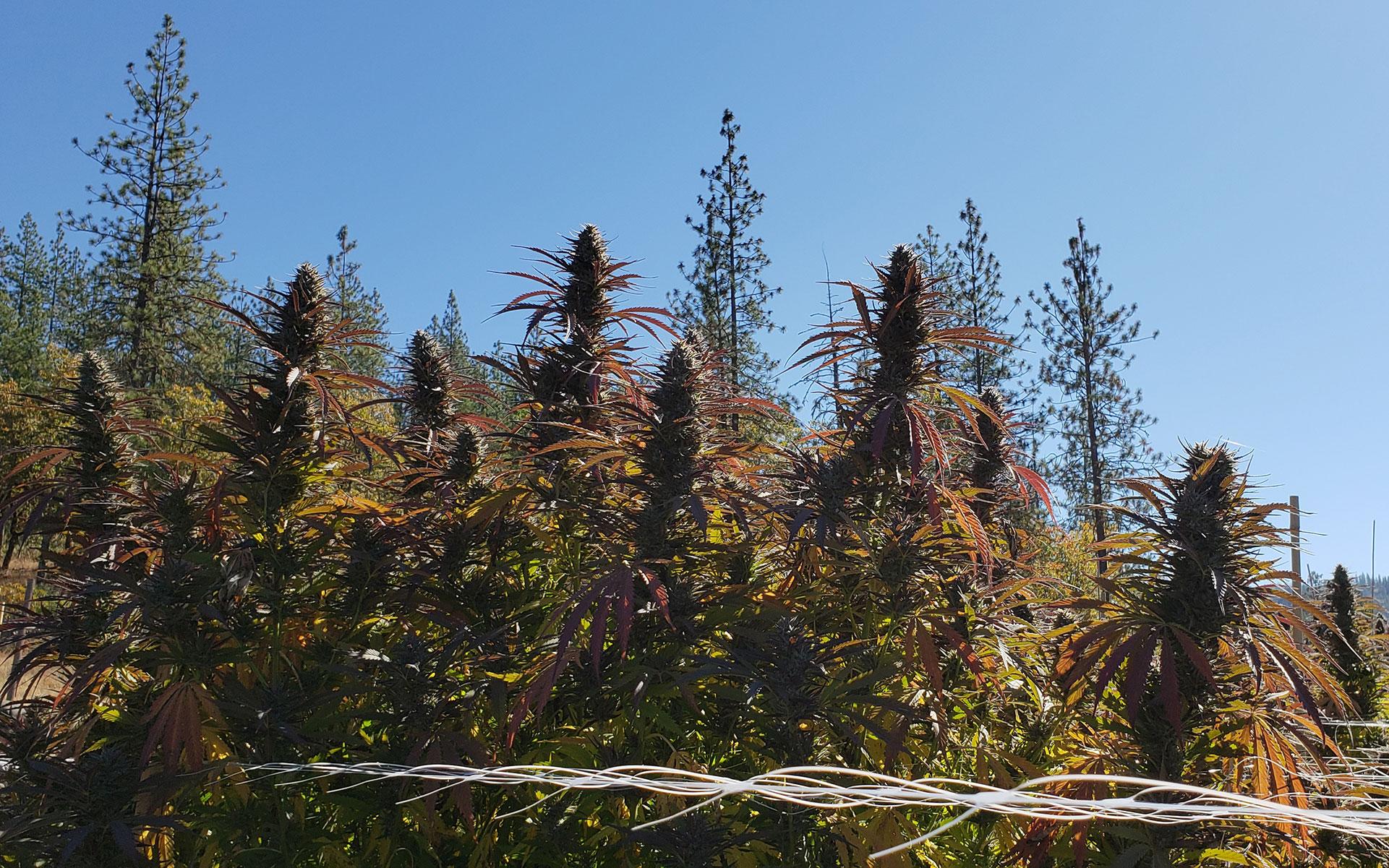 Harvest Season: Life on a Cannabis Farm in Southern Oregon thumbnail