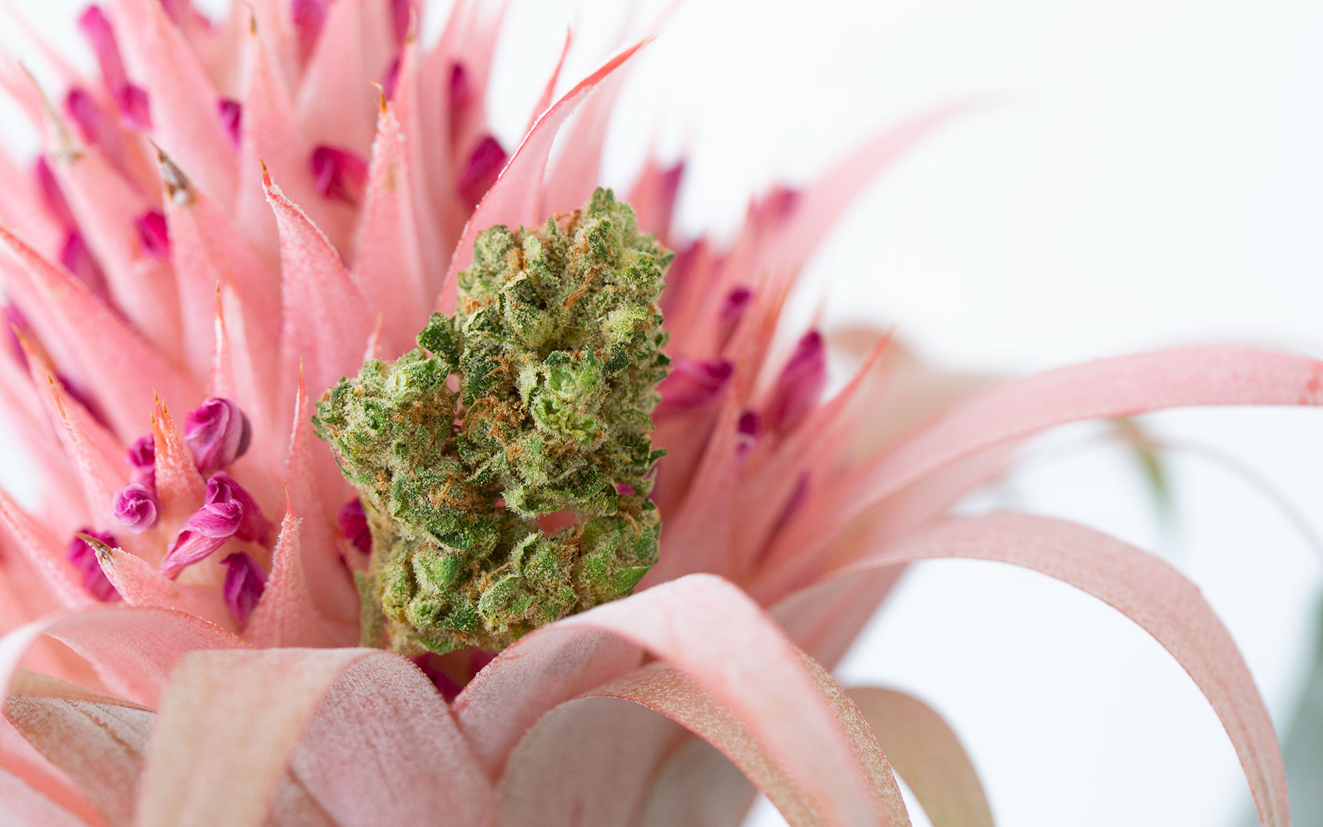Which Terpenes Are Found in 'Haze' Cannabis Strains?