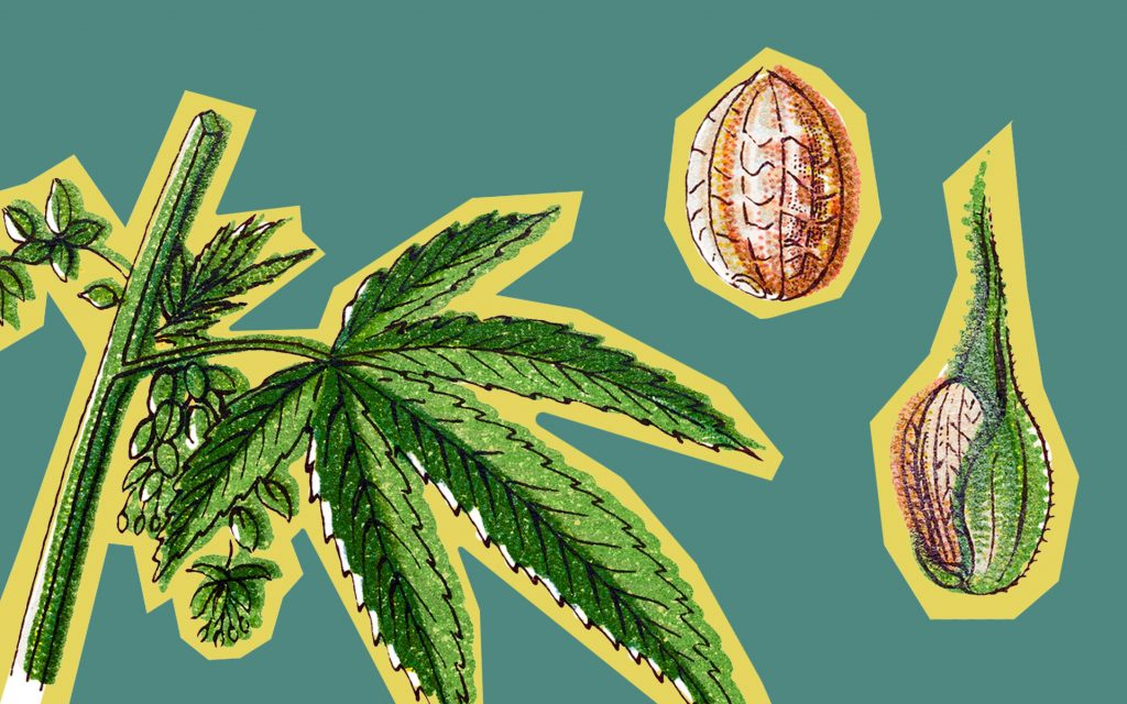 Cannabis Breeding Basics: How Are New Strains Made? | Leafly