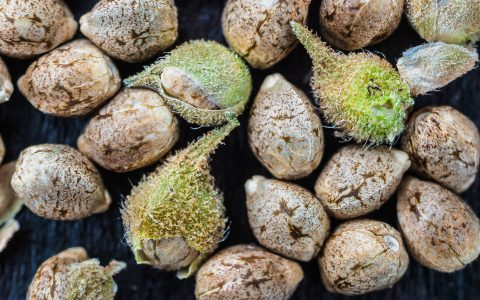 post-image-Preserving Cannabis Genetics: How to Collect and Store Seeds and Pollen