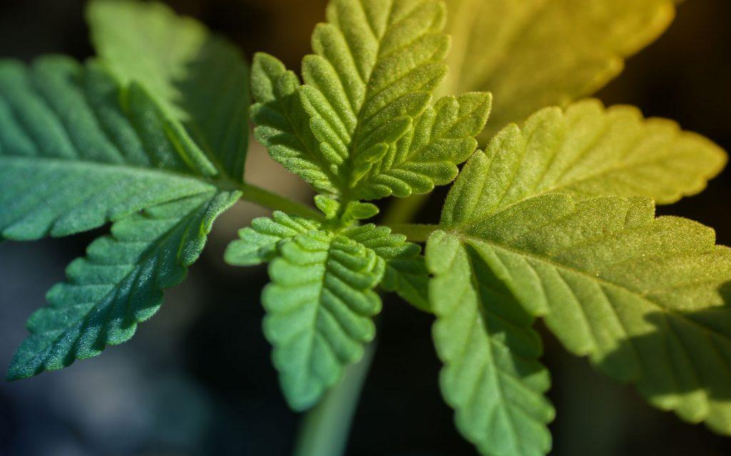 hemp CBD plant