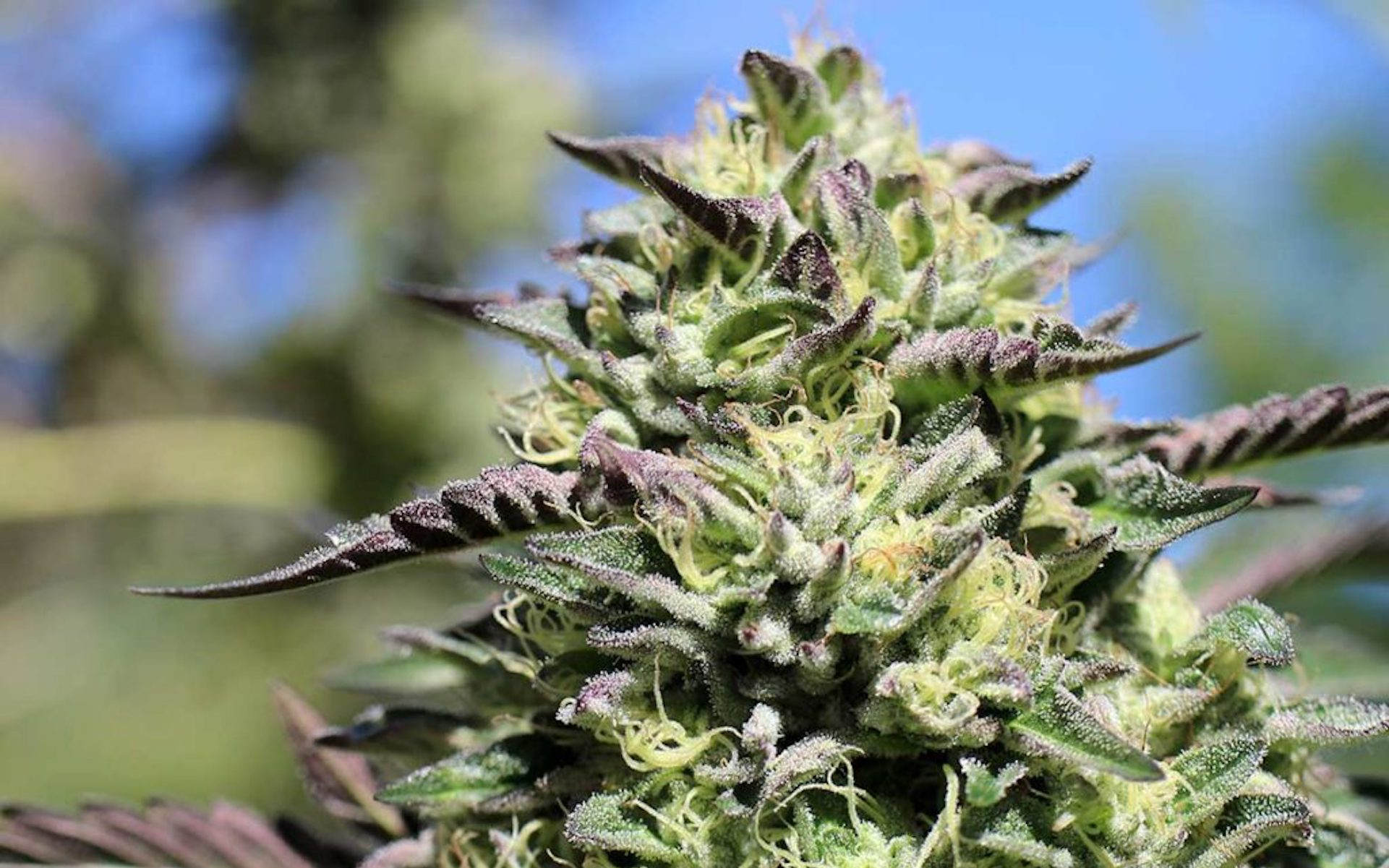 Best Weed Strains 2020 The Best New Marijuana Strains to Grow in 2019