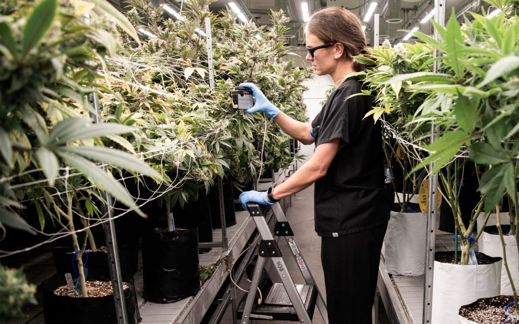 Rx Green cannabis grow with researcher