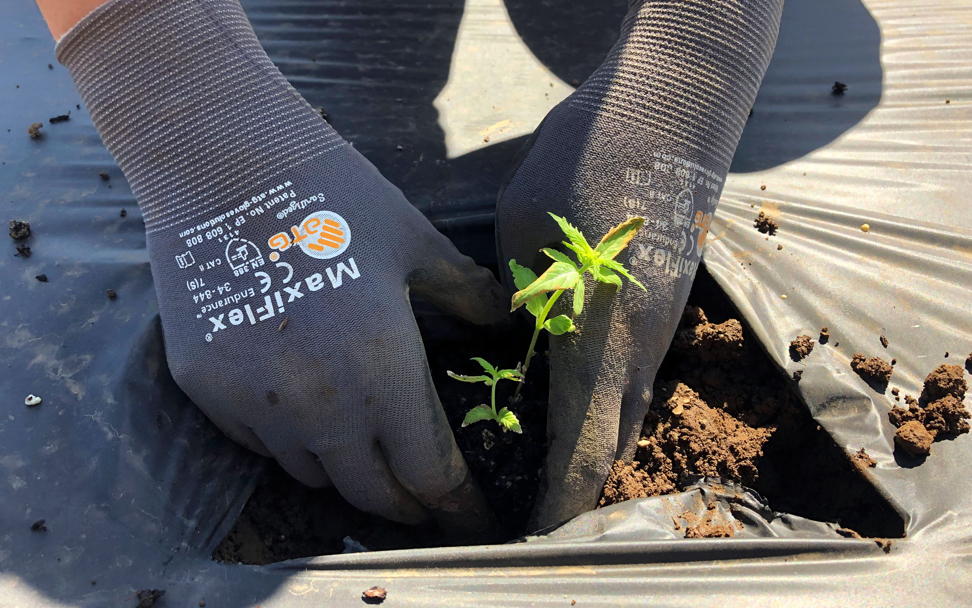 farmer planting a cannabis seedling at Oregon State University research station