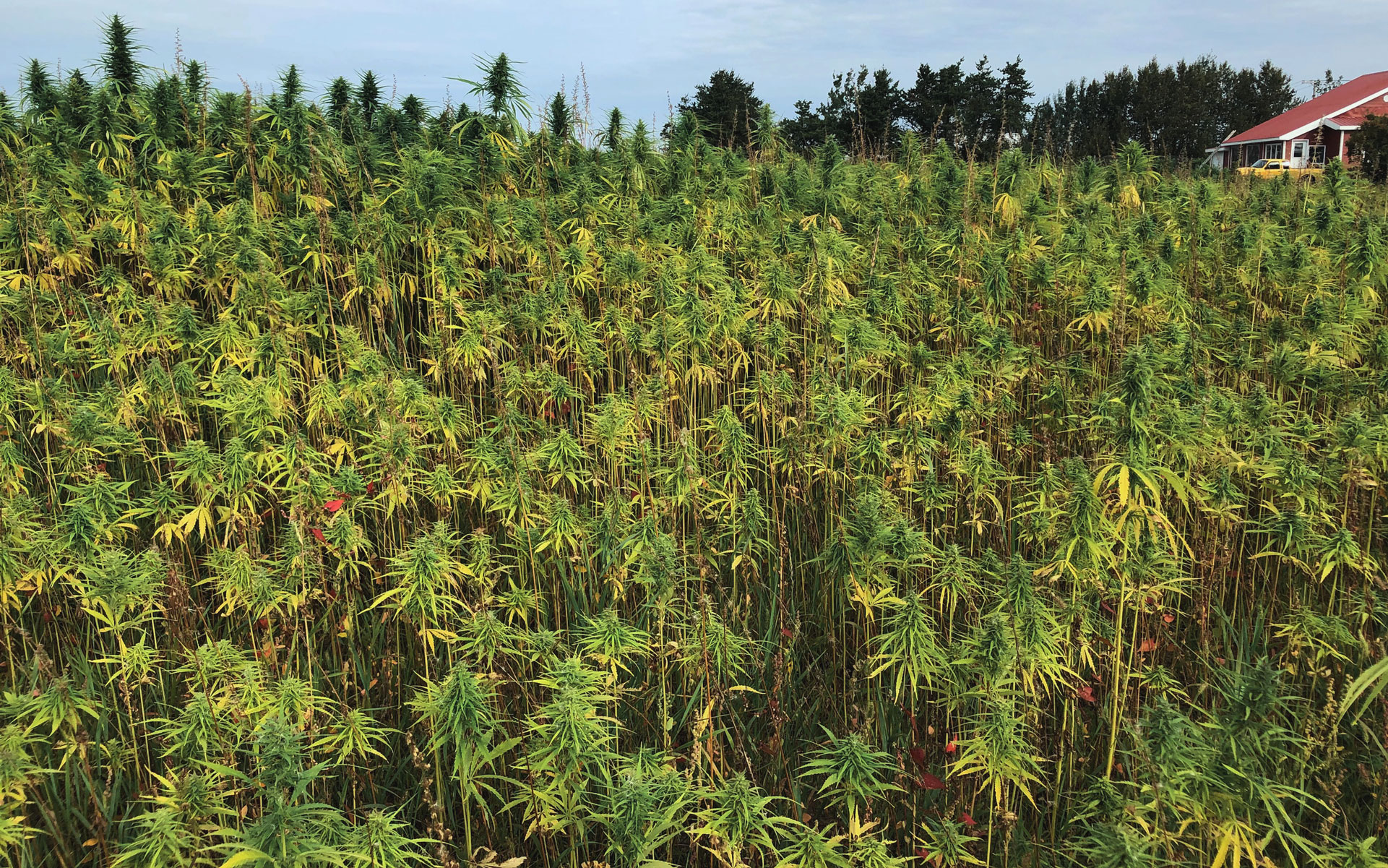 Many hemp fields grow plants rich in terpenes