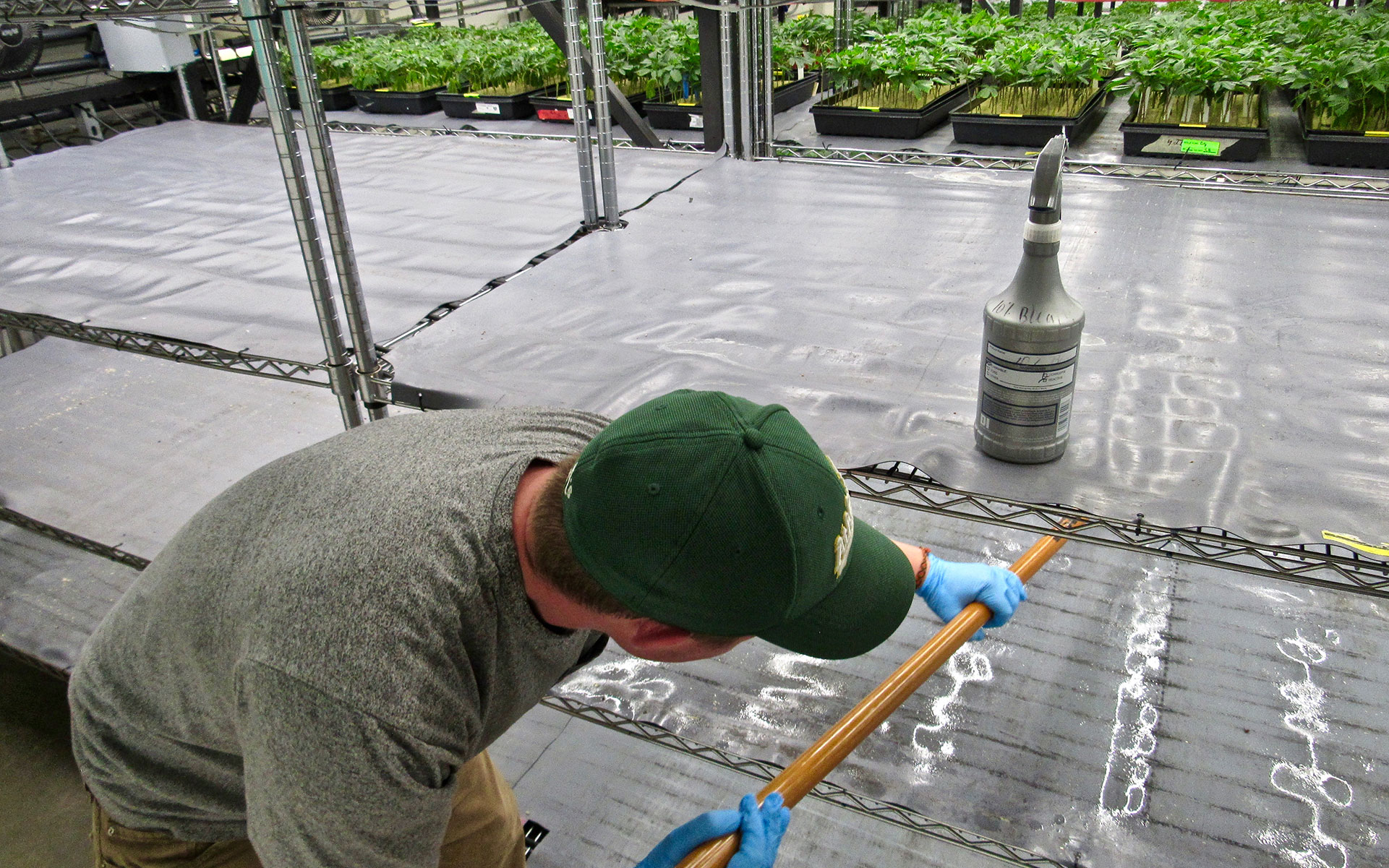 A worker wipes down tray racks with a bleach solution to kill pathogens, part of a patent-pending cleaning protocol. (David Downs for Leafly)