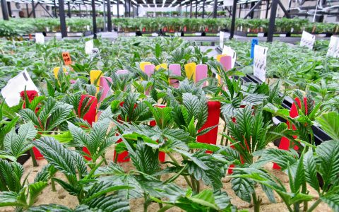 post-image-In Photos: How Dark Heart Nursery Produces Millions of Cannabis Clones