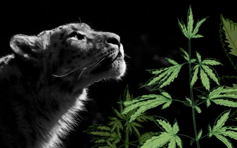 post-image-How Snow Leopard Became My Favorite Cannabis Strain to Grow
