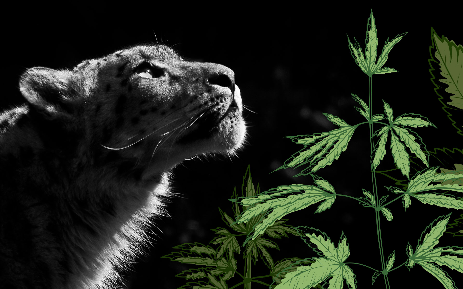 How Snow Leopard Became My Favorite Cannabis Strain to Grow thumbnail