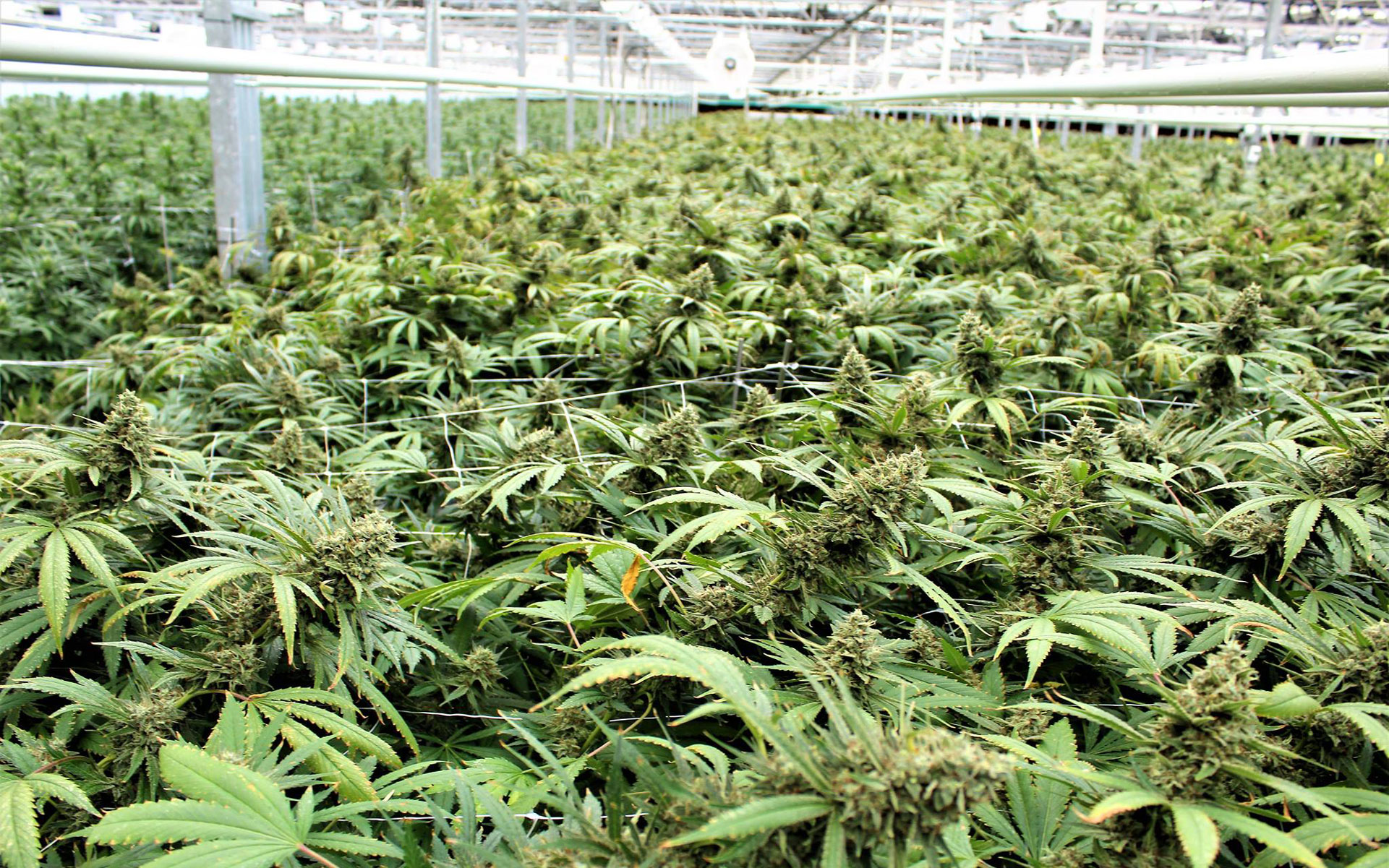 CannTrust Halts Sales as Health Canada Investigation Expands thumbnail