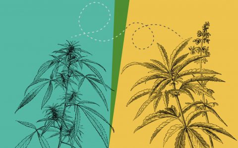 post-image-Hemp Cross-Pollination Could Damage Cannabis Crops—Here's How to Prevent It