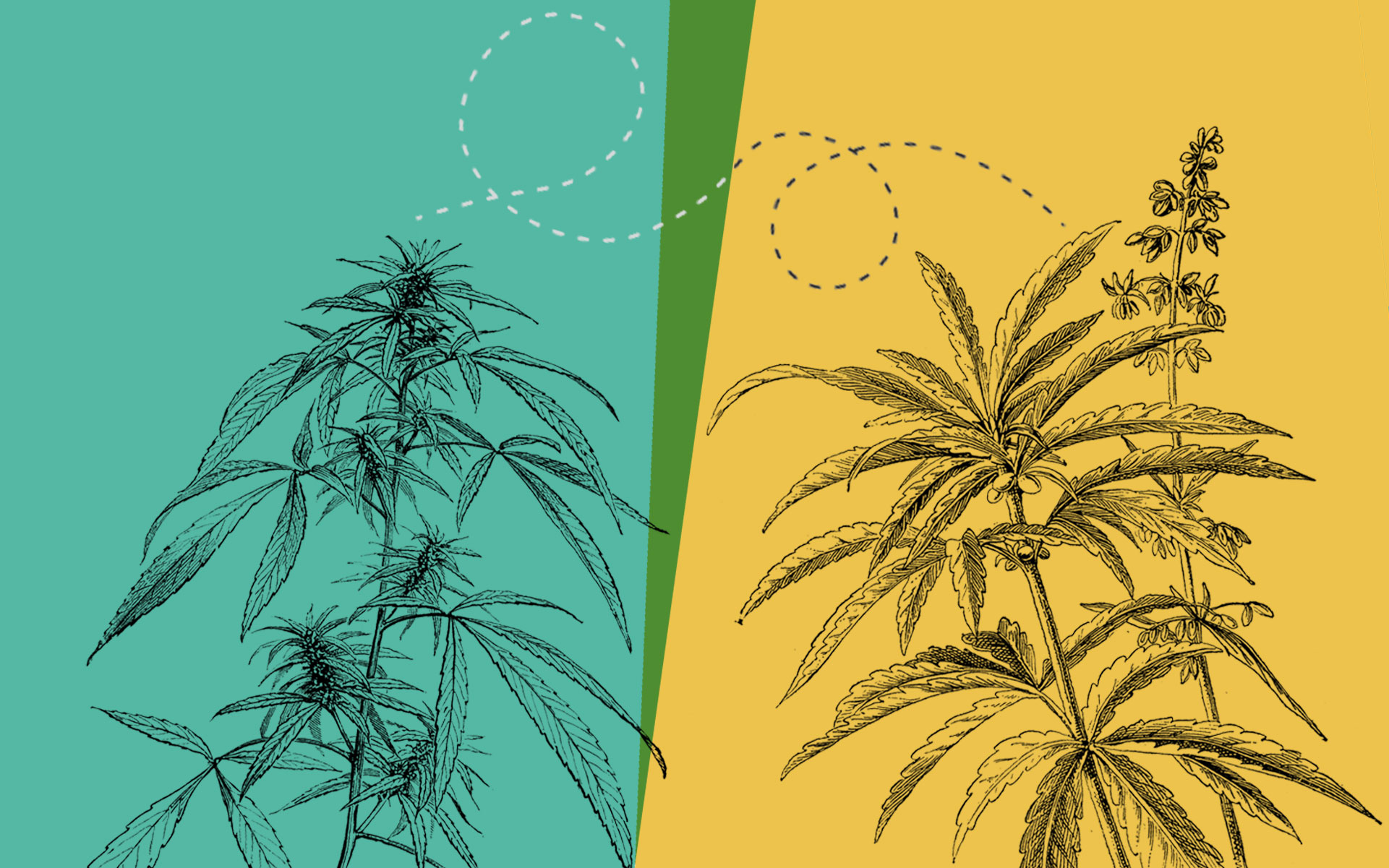 Hemp Cross-Pollination Could Damage Cannabis Crops—Here's How to Prevent It thumbnail
