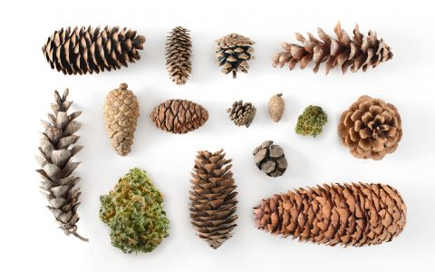 post-image-6 Strains for People Who Love Pine Terpenes
